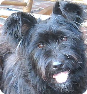 Terrier (Unknown Type, Medium)/Scottie, Scottish Terrier Mix Dog for Sale in Norwalk, Connecticut - Daisy