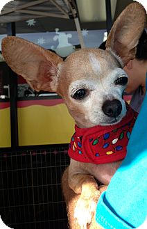 Chihuahua Mix Dog for Sale in San Diego, California - Lilly