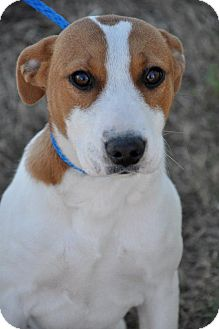 Jack Russell Terrier Mix Puppy for Sale in Glastonbury, Connecticut - Jackie