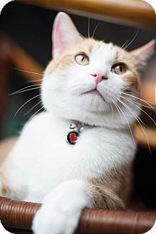 Domestic Shorthair Cat for adoption in WESTCHESTER, Illinois - Mellow Milo - Local Celebrity