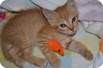 Domestic Shorthair Kitten for Sale in Oceanside, New York - Obi
