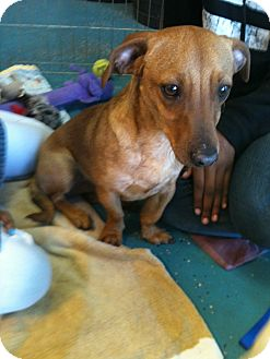 Dachshund/Chihuahua Mix Dog for adption in Phoenix, Arizona - Carmel