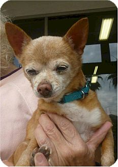 Chihuahua Mix Dog for adption in Long Beach, California - Candy