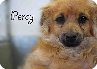 Pomeranian Mix Dog for Sale in Hamilton, Montana - Percy