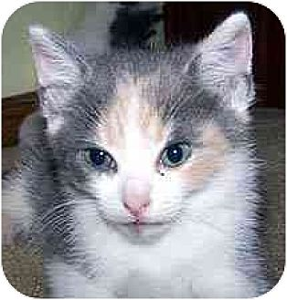 Domestic Shorthair Cat for adoption in Clovis, New Mexico - Tiffani