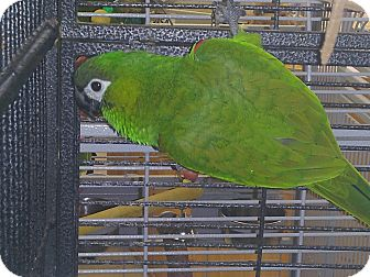 Macaw for adoption in Punta Gorda, Florida - Bennie