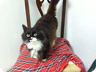 Domestic Longhair Cat for adoption in South Chesterfield, Virginia - Jasmine