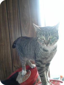 American Shorthair Cat for adoption in Yakima, Washington - Princess Lilly