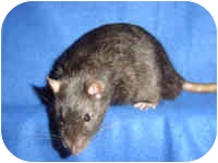 Rat for Sale in Winner, South Dakota - Nyx