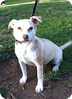 Terrier (Unknown Type, Small) Mix Dog for Sale in San Diego, California - TOMMY
