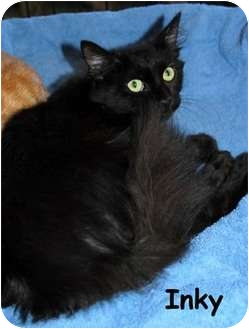 Domestic Shorthair Cat for adoption in Merrifield, Virginia - Inky
