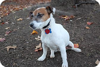 Jack Russell Terrier Mix Dog for Sale in London, Kentucky - Tess