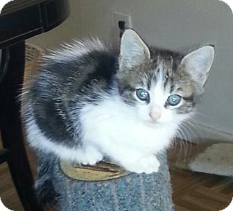 Domestic Shorthair Kitten for Sale in whitestone, New York - Debbie