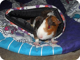 Guinea Pig for adoption in johnson creek, Wisconsin - harold