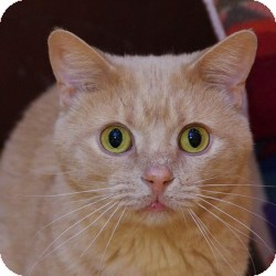 Domestic Shorthair Cat for adoption in St. Clements, Ontario - Puddin
