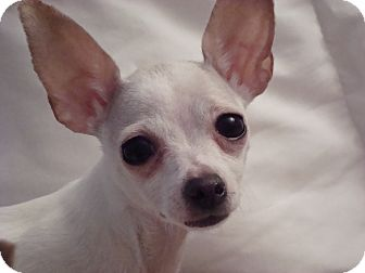 Chihuahua Dog for Sale in Romeoville, Illinois - *ADOPTED* Candy