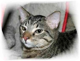 Domestic Shorthair Cat for Sale in Montgomery, Illinois - Tyler