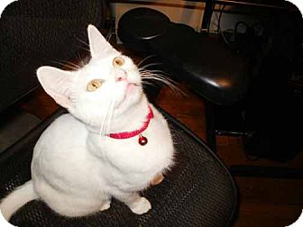 Domestic Shorthair Cat for Sale in Kansas City, Missouri - Bianca