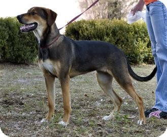 Hound (Unknown Type) Mix Dog for Sale in Gainesville, Florida - Browning