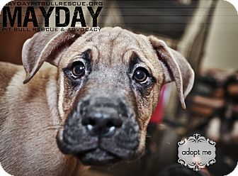 Shar Pei/Catahoula Leopard Dog Mix Puppy for adption in Phoenix, Arizona - Colton
