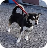Chihuahua/Spitz (Unknown Type, Small) Mix Dog for Sale in Spring Valley, New York - Bowie ($100 off)
