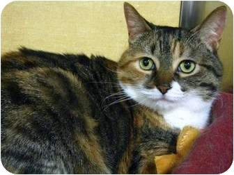 Domestic Shorthair Cat for adoption in Richmond Hill, Ontario - Fresca