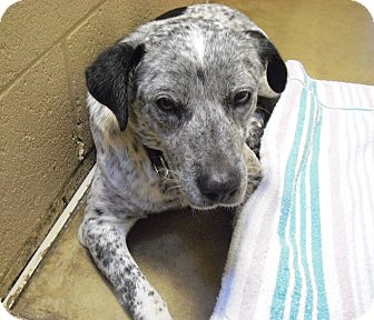 Australian Cattle Dog Mix Dog for adption in Wickenburg, Arizona - Drew