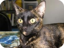 Manx Cat for adoption in Jacksonville, Florida - Candi