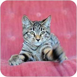 Domestic Shorthair Cat for adoption in Ft. Lauderdale, Florida - Marilyn (Monroe)