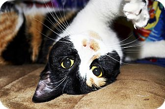 Domestic Shorthair Cat for adoption in Xenia, Ohio - Kira