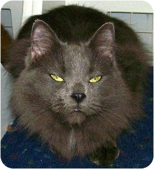 Domestic Mediumhair Cat for adoption in Waldorf, Maryland - Sharkie