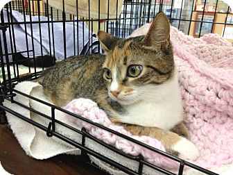 Calico Kitten for Sale in Vero Beach, Florida - Jewel-lea