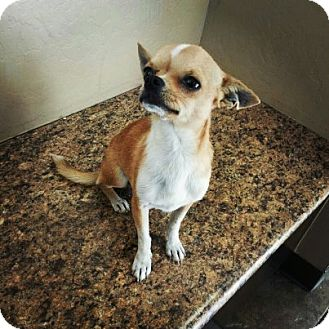 Chihuahua Dog for Sale in Scottsdale, Arizona - Sonny