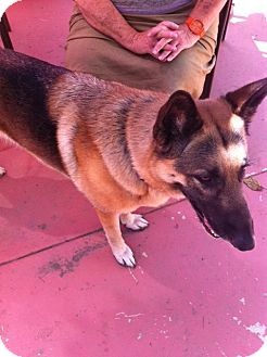 German Shepherd Dog Dog for Sale in Los Angeles, California - Nita - beautiful GSD!