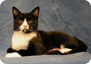 Domestic Shorthair Cat for Sale in Sacramento, California - Austin