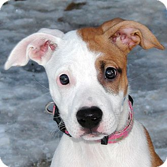 Pit Bull Terrier Mix Puppy for Sale in Howell, Michigan - Cinnabun