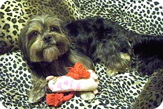 Lhasa Apso Mix Dog for adption in Los Angeles, California - FILMORE