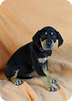 Doberman Pinscher/Labrador Retriever Mix Puppy for Sale in Westminster, Colorado - Dutchess