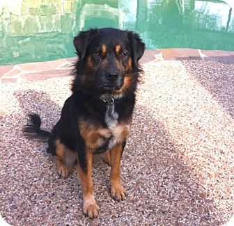 Shepherd (Unknown Type)/Rottweiler Mix Dog for adption in Porter, Texas - Bernard
