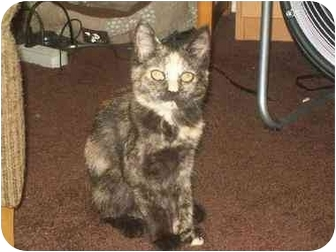 Domestic Shorthair Kitten for adoption in Trexlertown, Pennsylvania - Starry