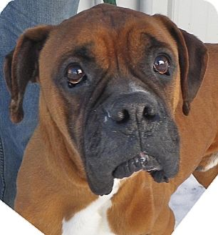 Boxer Dog for Sale in Brookville, Indiana - Trooper