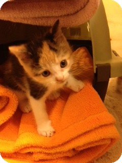 Domestic Shorthair Kitten for Sale in Emsdale (Huntsville), Ontario - Kelly - Born in October 2012!
