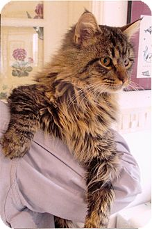 Maine Coon Cat for Sale in Vacaville, California - James