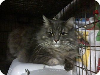Domestic Mediumhair Cat for Sale in Salem, New Hampshire - Bentley