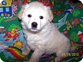 Golden Retriever/Labrador Retriever Mix Puppy for Sale in Sherman, Connecticut - Daphne Betty's Dog