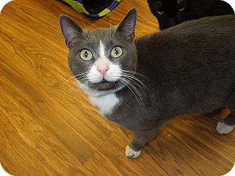 Domestic Shorthair Cat for Sale in Medina, Ohio - Smoke