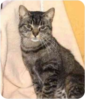 Domestic Shorthair Cat for adoption in Montgomery, Illinois - Molly