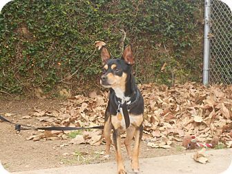 Chihuahua Mix Dog for Sale in Chula Vista, California - Duke