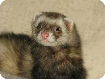 Ferret for Sale in South Hadley, Massachusetts - Teddy