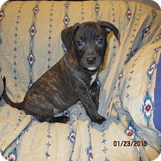 Retriever (Unknown Type)/Catahoula Leopard Dog Mix Puppy for Sale in Westminster, Colorado - Huckleberry